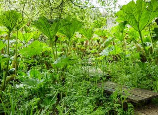 through the Gunnera plants......