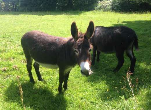 Two of the donkeys April and Mini