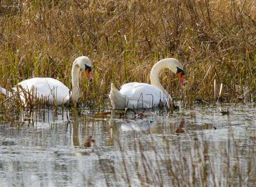 Swans on Cors Caron Reserve