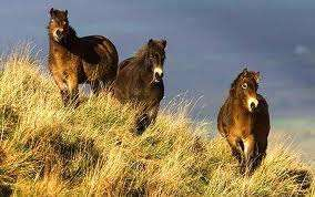 Exmoor Ponies above Winsford