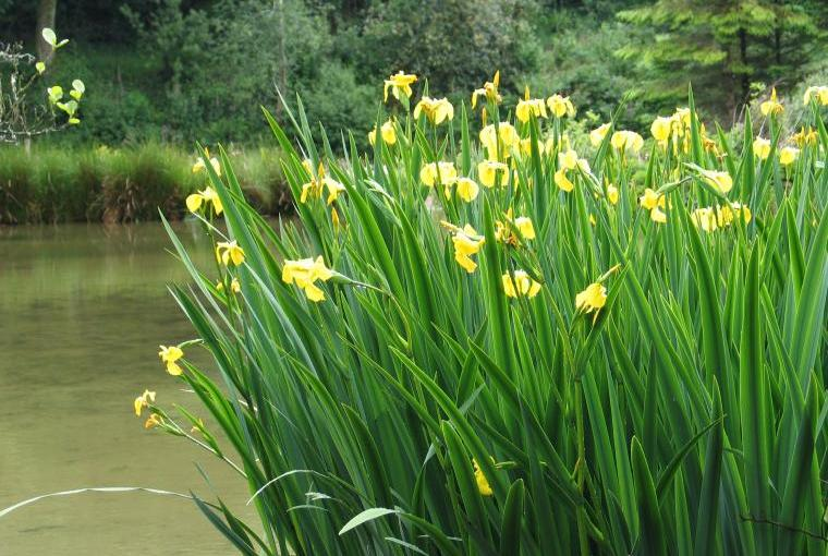 Yellow Irises by the duck pond