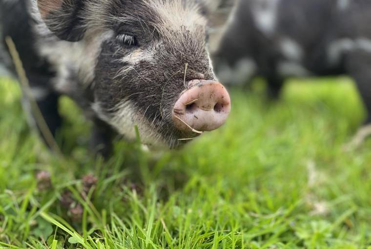 One of our inquisitive piggies