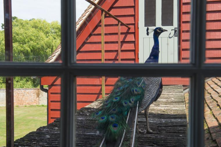 Say hello to our friend Mr. Peacock!