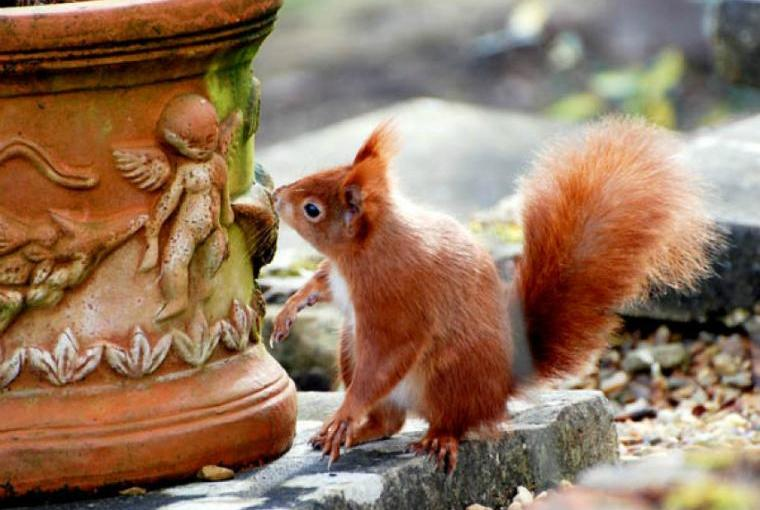 Beautiful red squirrels