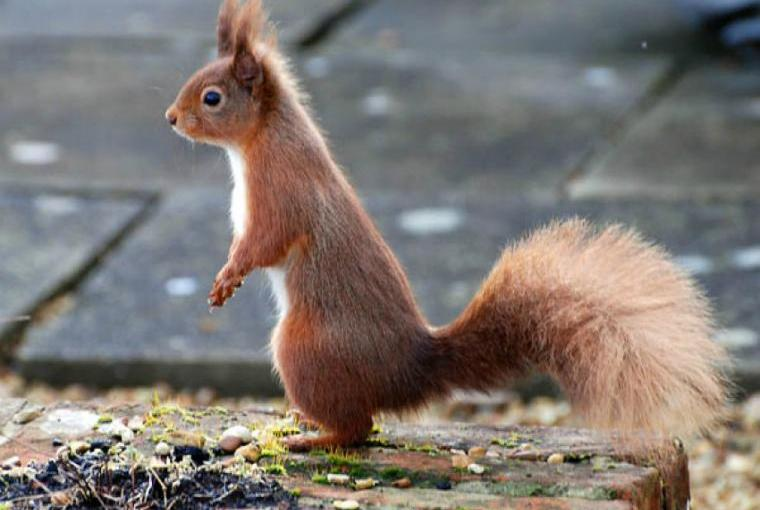 Gardens visited by red squirrels