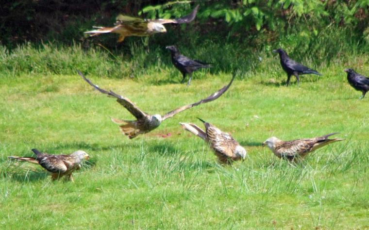 Red Kite feeding at Bwlch Nant yr Arian (26 miles from Rhoslwyn)