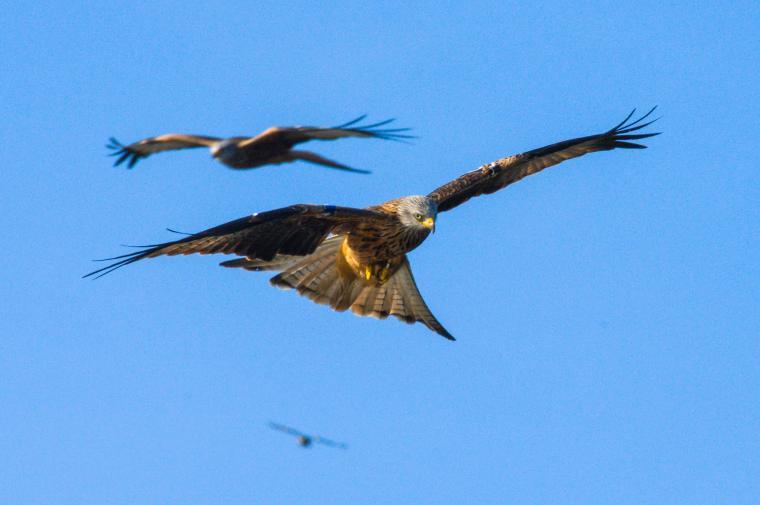 Red Kites - Bwlch Nant Yr Arian