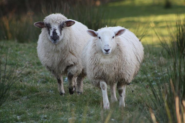 Cuddly tame sheep