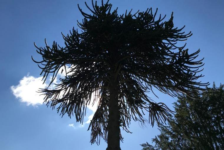 The Monkey Puzzle Tree at GCH