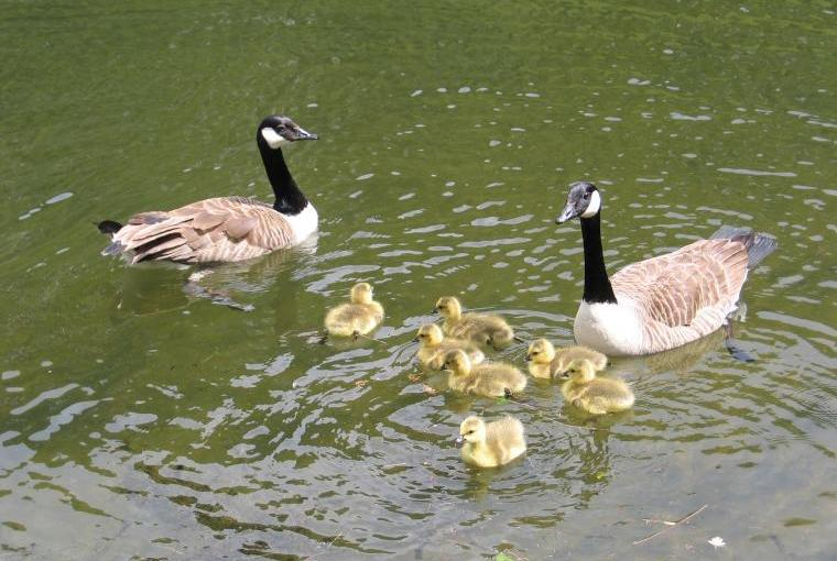 Goslings in the grounds