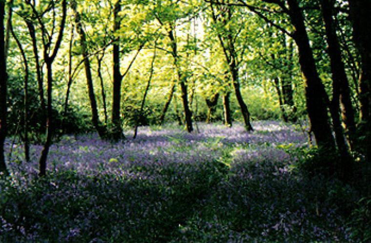 Bluebell woods May/June